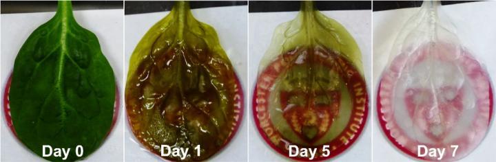 بازسازی بافت جهت ساخت کل اندام نیاز به داربستی دارد که قدرت میزبانی سیستم عروقی پیچیده برای خونرسانی به بافت در حال رشد را داشته باشد، مانند زمانی که بافت در جنین انسان در حال رشد است. اینطور به نظر می رسد که برگ اسفناج می تواند یکی از بهترین نامزدها برای این کار باشد.