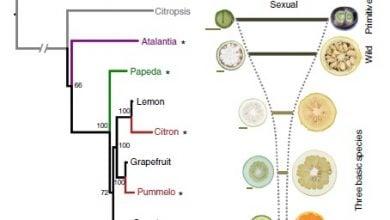 آنالیز های ژنومی در مرکبات وحشی ،بینشی جدید در تولید مثل غیر جنسی - اخبار زیست فناوری