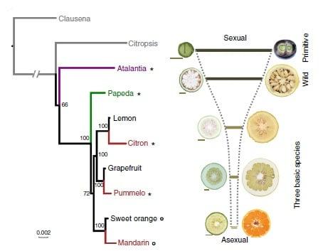 پدیدار شدن تکثیر آپومیکس-تکثیر بوسیله بافت های تناسلی بدون لقاح-نوعی خصوصیت برجسته در خانواده مرکبات است.در مطالعه ای که توسط پژوهشگران چینی انجام شده است، مجددا ژنوم چهار رقم از گونه مرکبات توالی یابی شده و به صورت وسیعی تحت مطالعه قرار گرفته است.علاوه بر آن صد ژنوم ورودی گیاه (accession) از ارقام وحشی و اهلی مرکبات توالی یابی شده است.آنالیز های جمعیت مورد مقایسه نشان داد مناطقی از ژنوم که مسئولیت این فرایند (چه از لحاظ تأمین انرژی و چه از لحاظ تقسیم سلولی) را برعهده دارند، در مرکبات اهلی با فشار تکاملی انتخاب شده اند. همچنین جایگاه های ژنتیکی مسئول ایجاد چند رویانی (polyembrion) -نوعی آپومیکس- به مناطقی شامل 11 ژن با 80Kb محدود گشت.