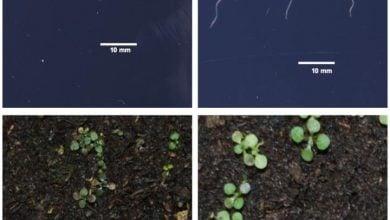 Photo of جبران کمبود آهن با ژن ارتقا دهنده رشد ریشه