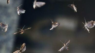 Photo of دستورزی ژنتیک پروانه ها: آینده کنترل آفت