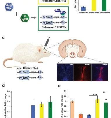 درمان چاقی ناشی از Haploinsufficiency با فعالسازی پروموتور و افزاینده با کمک CRISPRa