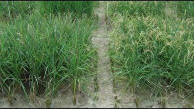 Photo of گونههای جدید برنج مبارزه کننده با خشکی