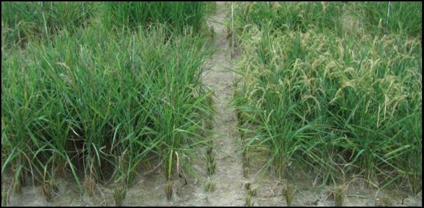 گونههای جدید برنج مبارزه کننده با خشکی