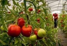 Fixing the tomato CRISPR edits correct plant - breeding snafu - اخبار زیست فناوری