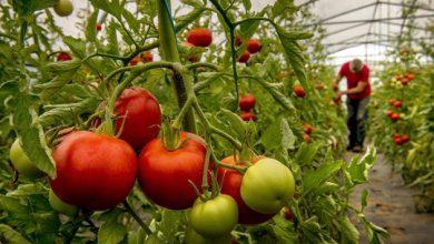 Photo of تثبیت گوجه فرنگی: CRISPR، تولید مثل گیاهان به هم پیچیده را اصلاح کرد