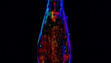 Newly discovered DNA sequences can protect chromosomes in rotifers - اخبار زیست فناوری