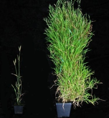 Newly identified gene helps time spring flowering in vital grass crops - اخبار زیست فناوری
