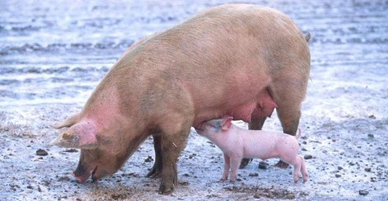 Scientists discover how some pigs cope in cold climates - اخبار زیست فناوری