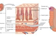 Stomach Cells Change Identity to Drive Precancerous State - اخبار زیست فناوری