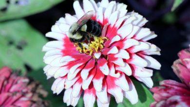 Photo of بهبود نرخ بقای زنبورهای عسلِ در معرض آفتکش توسط پروبیوتیکها