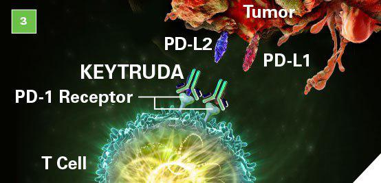 رونق گرفتن بازار آنتی بادیهای ضد Programmed death (PD)1 و PDL1 - اخبار زیست فناوری