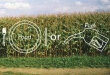 استفاده از ذرت به عنوان غذا، بهتر از استفاده برای تولید بیوفیول است!