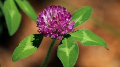 Fermented red clover extract stops menopausal hot flushes and symptoms - اخبار زیست فن