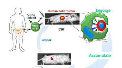 Researchers engineer macrophages to engulf cancer cells in solid tumors - اخبار زیست فن