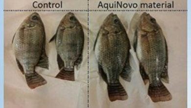 Photo of افزودنی جدید در خوراک ماهی باعث افزایش رشد میشود