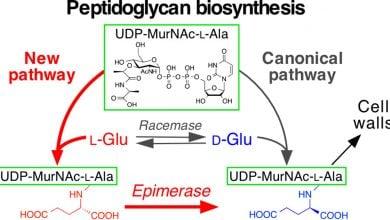 کشف مسیر جدید بیوسنتز گلوتامات در باکتریهای پاتوژن - اخبار زیست فناوری