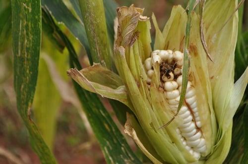 تلفیق ریاضیات و زیست به ویروسهای گیاهی مخرب حمله میکند