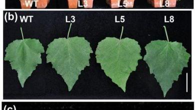 Photo of افزایش رشد و زیستتوده در گیاه صنوبر با بیان بیشتر PtCYP85A3