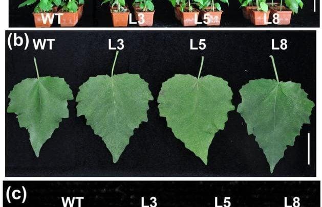افزایش رشد و زیستتوده در گیاه صنوبر با بیان بیشتر PtCYP85A3