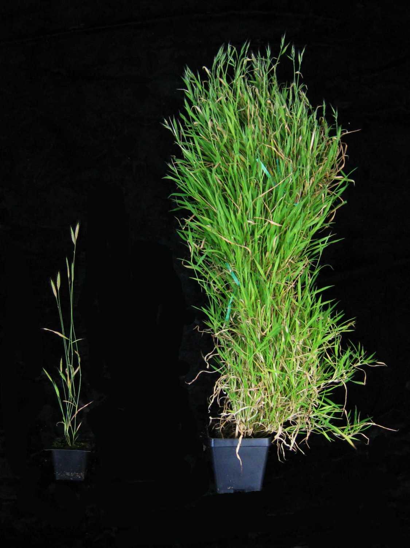 کشف ژن جدید کمککننده به زمان گلدهی بهاره در گیاهان علفی مهم - اخبار زیست فناوری