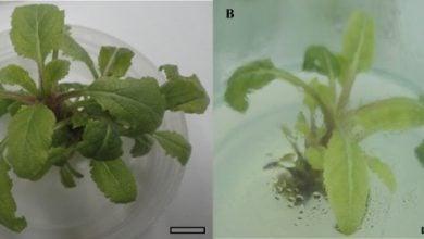 Photo of بهینه سازی محیط کشت ساقه مریم گلی برای افزایش تولید ترکیبات فنولی ارزشمند