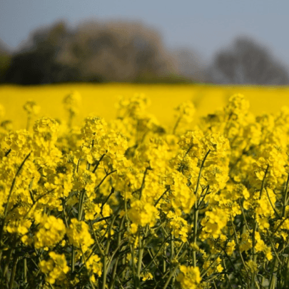CRISPR could efficiently improve difficult-to-breed oilseed crops, study shows - اخبار زیست فن