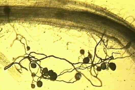 ابعاد جدیدی از همزیستی قارچ و ریشه: عسل با کره! - اخبار زیست فناوری