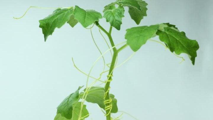 نگاه عمیقتر به ارتباطات گیاهان میزبان آلوده شده به انگل گیاهی سِس - اخبار زیست فناوری