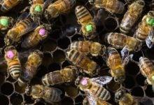 آنتیبیوتیکها، تغییردهندهی میکروبیوم زنبورهای عسل - اخبار زیست فناوری