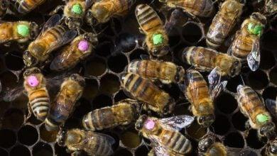 Photo of آنتیبیوتیکها، تغییردهندهی میکروبیوم زنبورهای عسل