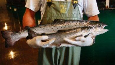 Photo of اولین ماهی آزاد تراریخت در کانادا فروخته شد