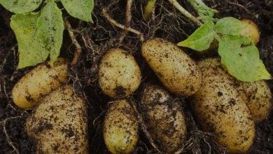 Photo of شناسایی QTL های حساس به دما برای افزایش محصول غده ای در سیب زمینی