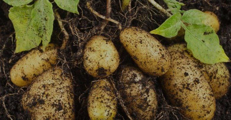 شناسایی QTL های حساس به دما برای افزایش محصول غده ای در سیب زمینی - زیست فن