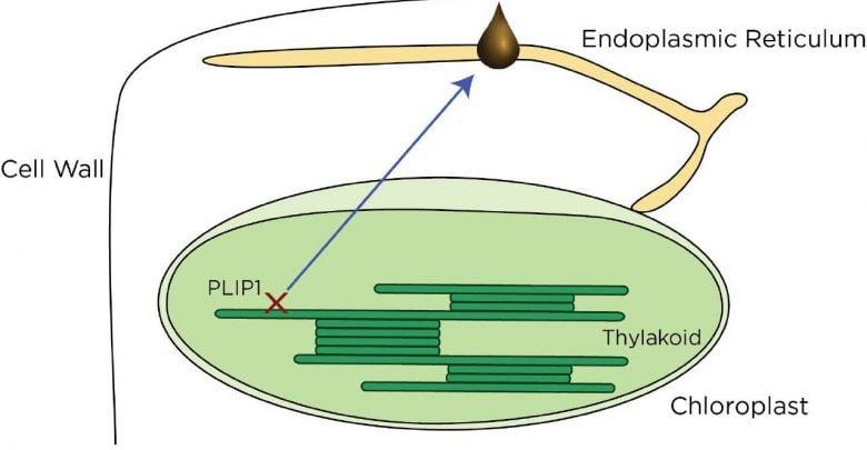 دخالت کلروپلاست در تولید روغنهای گیاهی - اخبار زیست فناوری