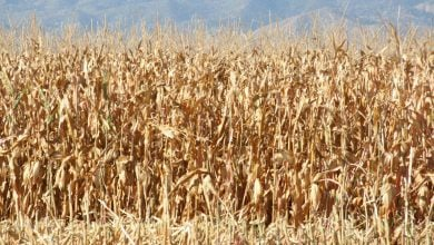 Photo of کمک به محیطزیست و کاهش نیاز به کود در گندمهای مهندسی ژنتیک شده