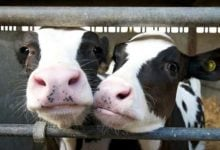 How are antimicrobials used around the world in food-producing animals - اخبار زیست فن