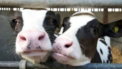 Photo of چگونگی استفاده مواد ضد میکروب در  تولید غذای حیوانات