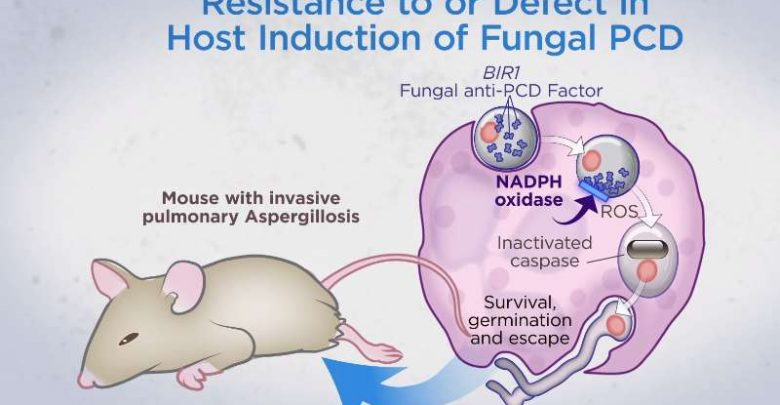 Mice found able to ward off fungal lung infections by causing fungus to kill itself - اخبار زیست فن