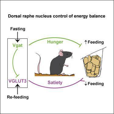 کشف مسیری عصبی جهت جلوگیری از چاقی - اخبار زیست فناوری