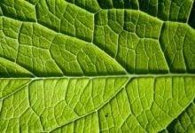کشف رمز و راز اندازه برگ - اخبار زیست فناوری