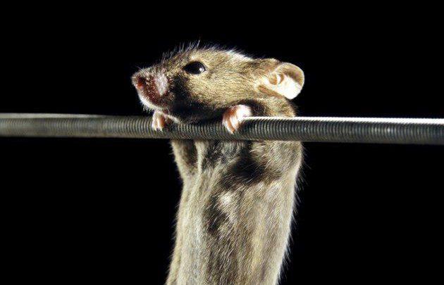 سلولهای بنیادی مغز روند پیری را در موش کند میکنند - اخبار زیست فناوری