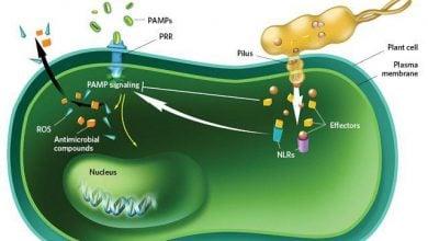 Photo of مهندسی ژنتیک در خدمت حفاظت از گیاهان در برابر بیمارگرهای گیاهی