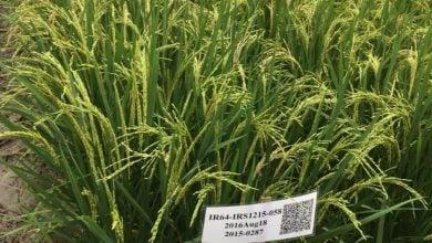 Photo of بستن مسیر پاتوژنها در برنج