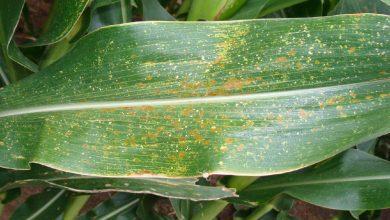 Photo of یک ژن در ذرت و مقاومت به چند بیماری گیاهی مهم