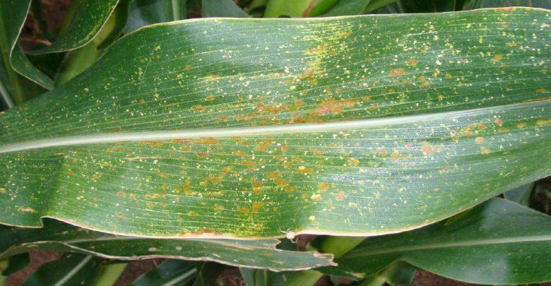 یک ژن در ذرت و مقاومت به چند بیماری گیاهی مهم - اخبار زیست فناوری