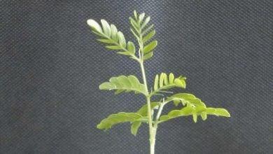 Photo of تغییر رفتار ریشه در نتیجهی رشد درختان چوبی