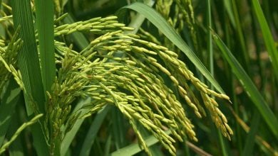 Photo of برنج طلایی؛ حاوی ویتامین A