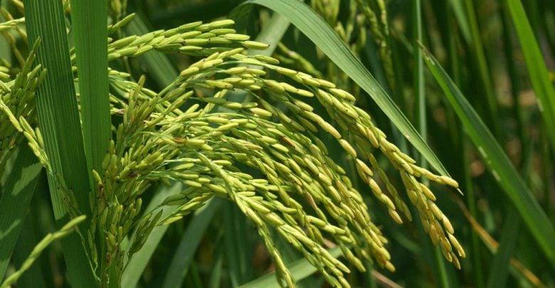 برنج طلایی؛ حاوی ویتامین A - اخبار زیست فناوری