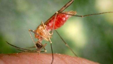 Photo of درمان دارویی آلفاویروسهای منتقلشده توسط پشهها